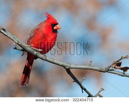 Male Northern Cardinal in an Oak tree in winter