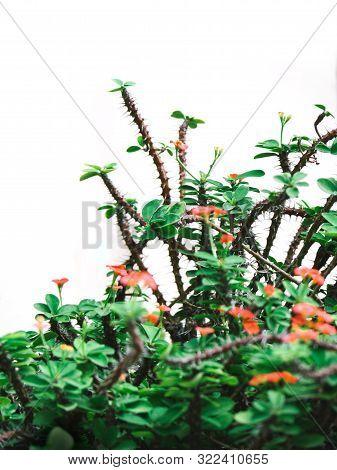 Poi Sian Flower,on White Background, Red Poi Sian, Small Flower, Chok Dok Poisian, Poi Sian Tree