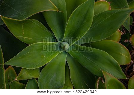 Bright Image Of Spineless Century Plant With White Wall And Other Plant In Background, Agave Attenua