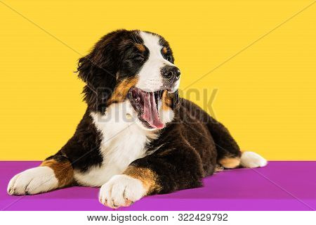 Berner Sennenhund Puppy Posing. Cute White-braun-black Doggy Or Pet Is Playing On Yellow Background.