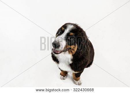 Berner Sennenhund Puppy Posing. Cute White-braun-black Doggy Or Pet Is Playing On White Background.