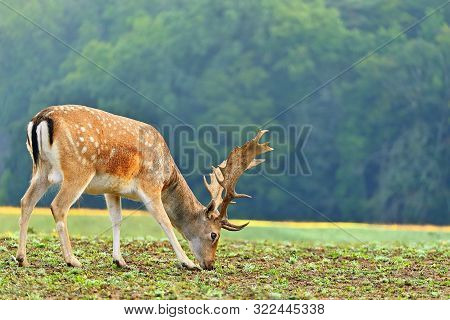 Beautiful Animal In A Wild  Nature. Fallow Deer (dama Dama) Colorful Natural Background.