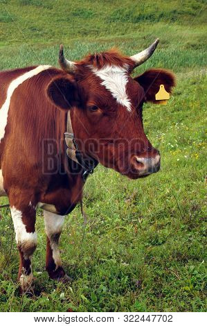 In The Summer, A Brown Cow Eats Green Grass In The Meadow.