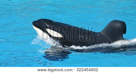 A Portrait Of A Killer Whale Porpoising Through Blue Water