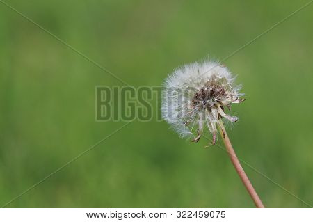Macro Shot Of A Dandylion With An Out Of Focus Green Background