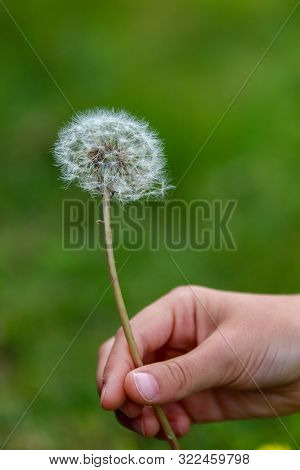 Macro Shot Of A Hand Holding A Dandylion Against An Out Of Focus Green Background