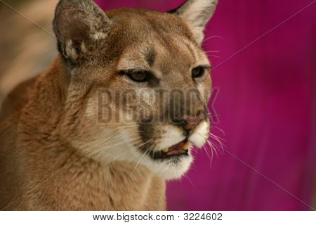 Posing Puma