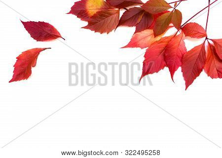 Beautiful Purple Autumn Leaves On White Isolated Background. Picture For Presentation Design. Free S