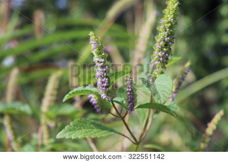 Vietnamese Balm Or Vietnamese Lemon Mint.it Is Widely Used In Vietnamese Cuisine, Not Only For Its F