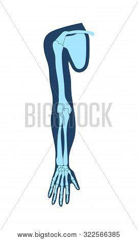 Clavicle Collar Bone , Scapula Shoulder Blade , Humerus, Ulna, Radius, Finger And Hand. Detailed Med