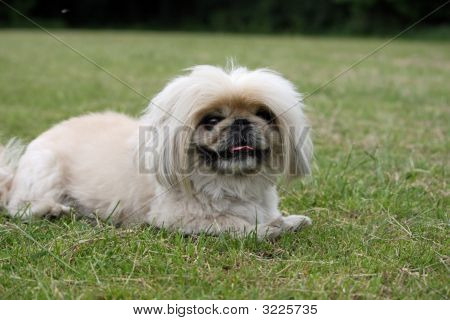 Fluffy Little Dog Taking A Rest