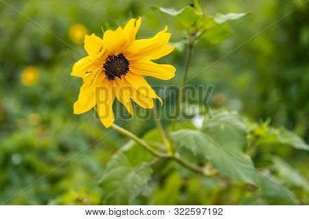 Closeup Of A Yellow Flowering Small Type Of Sunflower In The End Of The Summer Season.