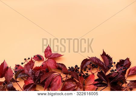 Red Leaves Of Girlish (wild) Grape Or Parthenocissus On Orange Background. Top View. Flat Lay. Autum
