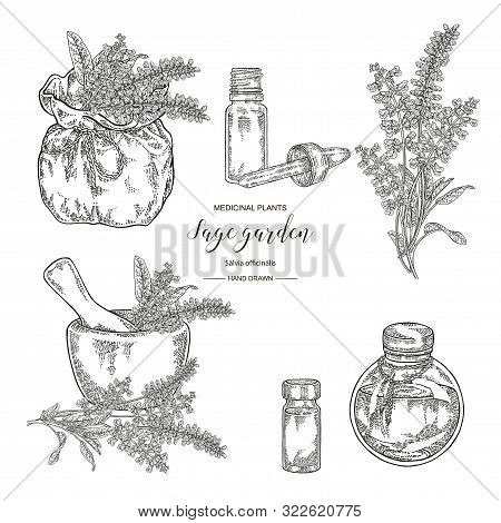 Sage Garden, Salvia Officinalis Plant Set. Flowers, Leaves Of Sage.  Medical Herbs Hand Drawn. Vecto