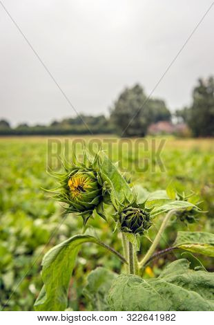 The Last  Two Budding Sunflower Plants In The End Of The Dutch Summer Season. The Plants Are In The