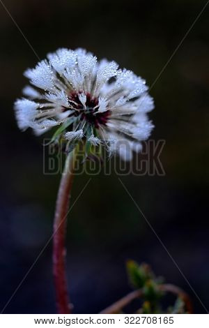 Dandylion closeup with dew drops frozen on seeds ice crystals
