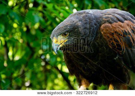 Harris Hawk Close Up Portrait. Birds Of Prey In Nature.