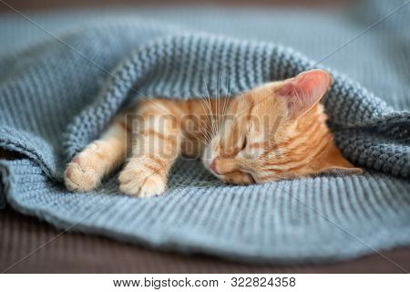 Cute red kitten sleeps on the back on sofa covered with a gray knitted blanket. Adorable little pet. Cute child animal