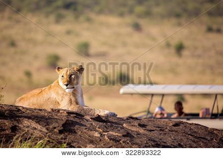 A Lioness Portrait With Safari Car In The Masai Mara National Park, Kenya. Animal Wildlife. Safari C