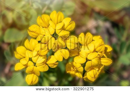 Yellow Flower Alyssum Caucasicum From The Brassicaceae Family. Yellow Flower With Green Blured Backg