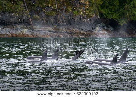 Johnstone Strait Orcas British Columbia. A Pod Of Orcas Feeding In Johnstone Strait, British Columbi