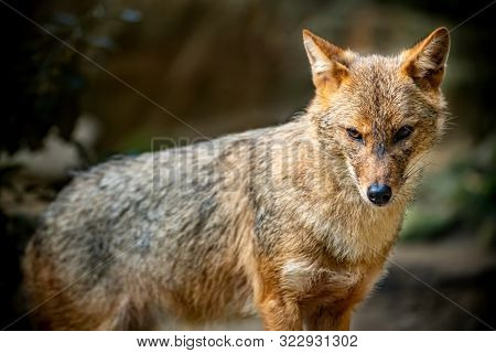 Portrait of a golden jackal/gold wolf