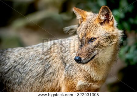 Portrait of a golden jackal/gold wolf