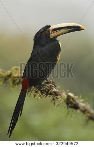 Pale-mandibled Aracari (pteroglossus Erythropygius) Perched On A Branch In A Cloud Forest - Tandayap