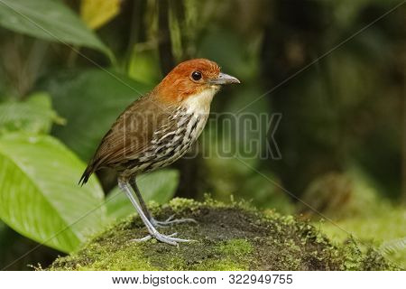 Chestnut-crowned Antpitta (grallaria Ruficapilla) Foraging In A Tropical Forest - Ecuador