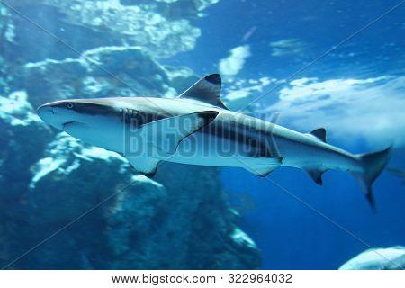 Blacktip Reef Shark (carcharhinus Melanopterus), Member Of Requiem Sharks Inhabiting The Tropical Re