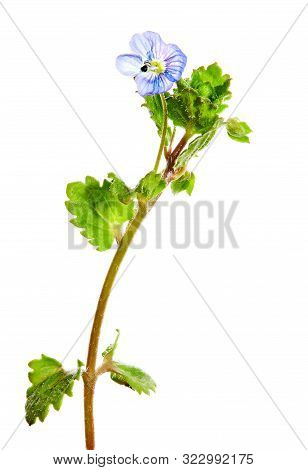Common Field-speedwell Or  Birdeye Speedwell (veronica Persica) Isolated On White Background.