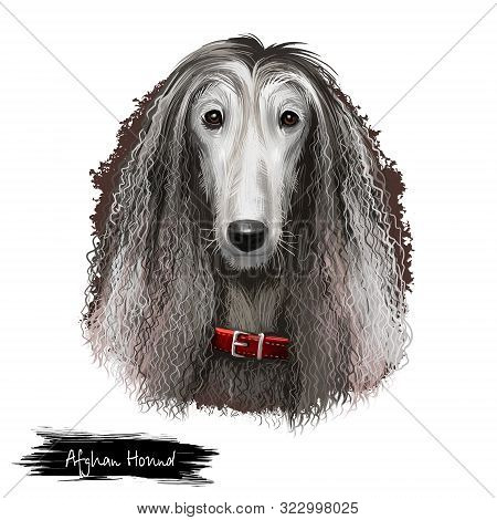 Afghan Hound Breed Digital Art Illustration Isolated On White Background. Cute Domestic Purebred Ani