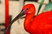 scarlet ibis Eudociums rubber from South America red plumage poster