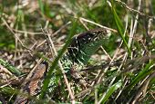 Common lizard relaxes in the green grass poster