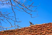 Bird dove standing on an old tiled roof against a blue sky in spring poster
