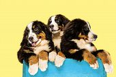 Berner sennenhund puppies posing. Cute white-braun-black doggy or pet is playing on yellow background. Looks attented and playful. Studio photoshot. Concept of motion, movement, action. Negative space. poster