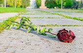 a fallen old, withered, broken red rose lies on the cobblestone walkway in the city Park poster