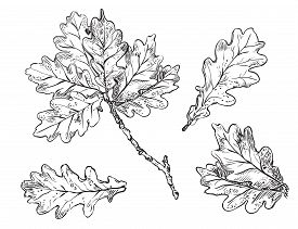 Vector Hand Drawing Set Of Monochrome Oak Tree Leaves Outline On The White Background. Fall Line Art