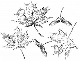 Vector Autumn Hand Drawing Set Of Maple Tree Leaves And Seeds Outline On The White Background. Fall