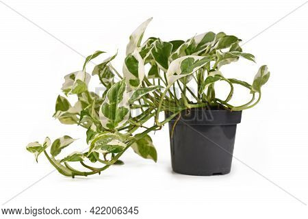 Exotic Houseplant With Botanic Name 'epipremnum Aureum N'joy' With White And Green Variegated Leaves