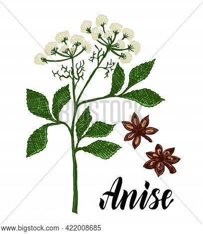 Anise Herbal Illustration. Botanical Sketch Style. Anise Branch, Anise Leaves And Seeds. Isolated Me