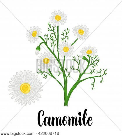 Chamomile Or Daisy Flowers Isolated On White Background. Camomile Garden. White Flowers Of German Ch