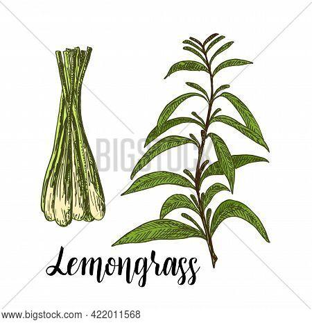 Lemongrass Color Vector Set. Hand Drawn Lemongrass Tea Herb Illustration. Detailed Retro Style Image