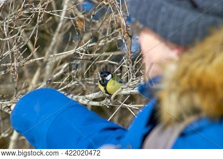 A Man Feeds A Chickadee With His Hands. Helping Birds In Winter, An Ornithology Concept. Cute Titmou