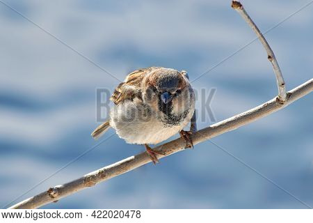 The Fearsome Sparrow Looks Into The Camera Lens. A Sparrow Sits On A Tree Branch