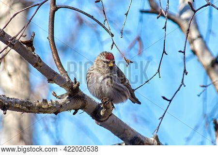 Redpoll Bird. A Cute Little Bird With A Red Head - Common Redpoll. Birds Of North America And Russia