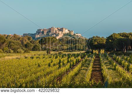 Early Morning Sun On The Citadel Of Calvi In The Balagne Region Of Corsica With A Vineyard And Pine