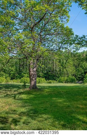 A Beautiful Tree During Late Spring In Freneau Woods Park In Aberdeen Nj.