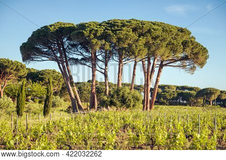 Morning Sun On A Group Of Pine Trees In A Vineyard In Corsica