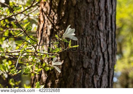 White Magnolia Flower Blooming At Pine Tree Background. Creamy Blossom Of White Magnolia Branch At T